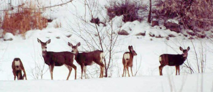 Deer in Snow at Wildlife Refuge
