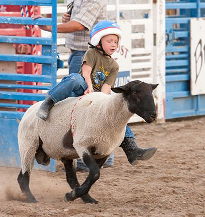 A little boy barely hanging on as he rides a rodeo sheep.